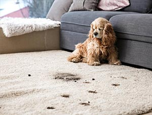 Cleaning Pet Accidents on Your Rug